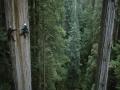 Séquoias de californie.jpg